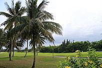 高尔夫球场上的椰树