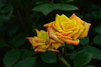 高贵的金色月季花