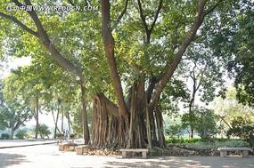 广州流花湖公园的高山榕
