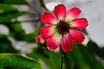 娇艳的太阳花