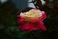 娇艳的月季花