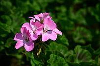 流光溢彩的长春花