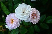 流光溢彩的蔷薇