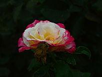 美丽的黄红双色月季花