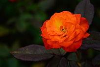 橘色艳丽的月季花