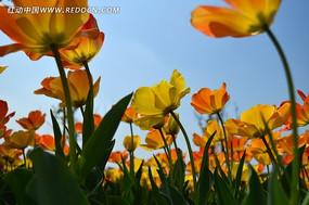 天空下艳丽的郁金香