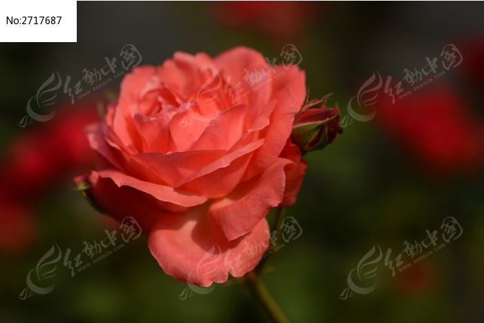 一朵红色月季花图片