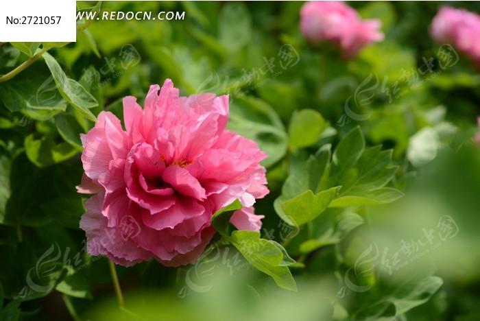 一朵牡丹花图片_动物植物图片