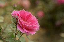 一朵盛开的粉红色月季花