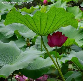 翠绿荷叶下的粉色荷花