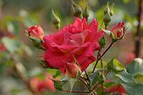 芳香流溢的月季花
