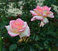 粉嫩可爱的月季花