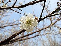 娇嫩的白色梅花