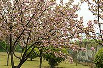 竞相开放的樱花