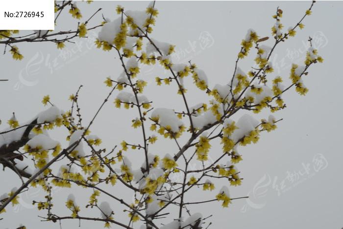 腊梅花图片,高清大图_花卉花草素材