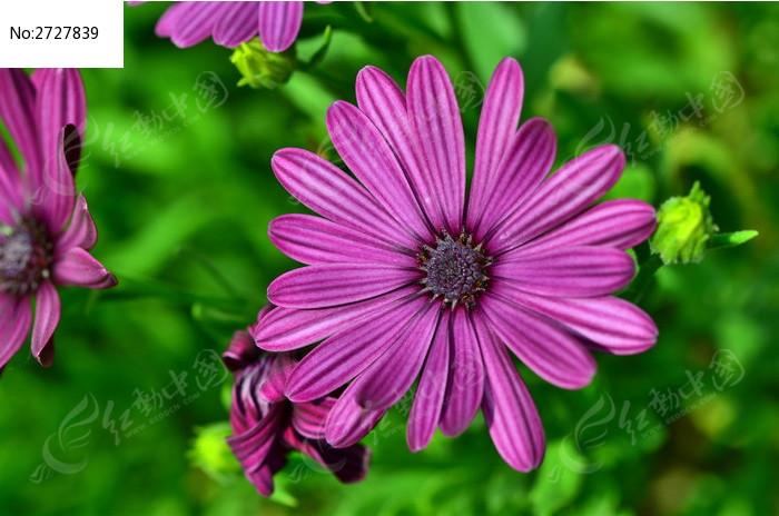 蓝目菊图片