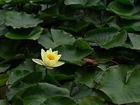 绿色莲叶上的黄莲花