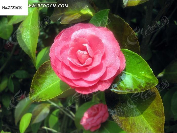 美丽山茶花图片_动物植物图片
