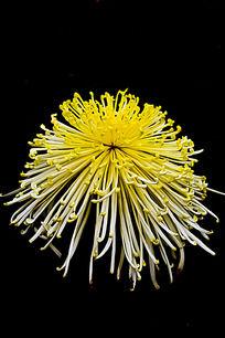 米黄色金丝菊