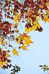 秋天阳光下色彩鲜明的枫叶