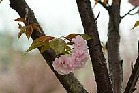 树干上盛开的樱花