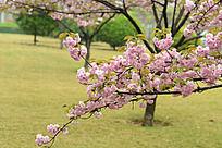 树枝上的樱花