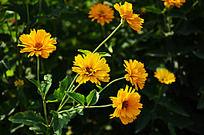 一株盛开的金盏花