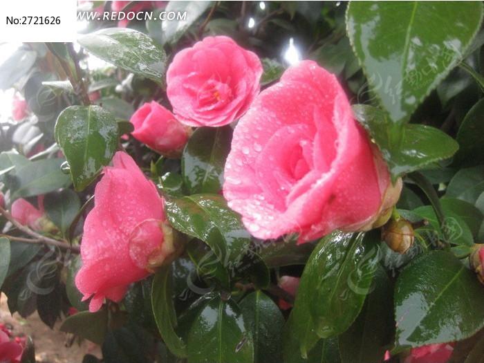 雨后山茶花图片_动物植物图片