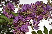 枝头上的紫色鲜花
