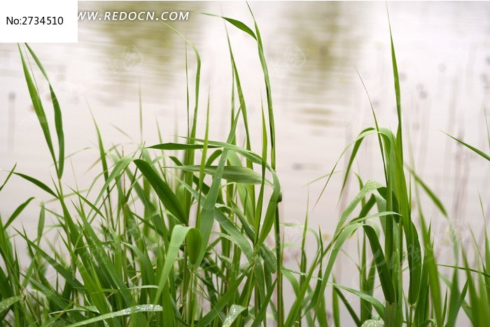 原创摄影图 动物植物 花卉花草 河边的小草  请您分享: 红动网提供