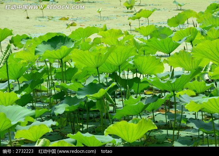 荷塘 荷叶  自然景观 广州烈士陵园