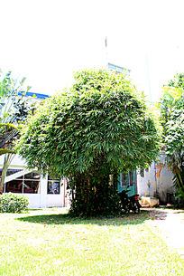 茂密生长的罗汉竹