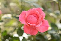 一朵粉红色月季