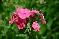 流光溢彩的海棠花