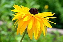 流光溢彩的黑心菊