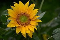 流光溢彩的向日葵