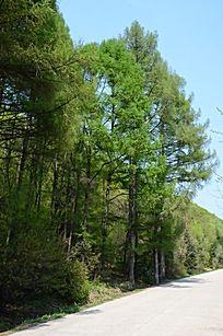 路边茂盛的树林