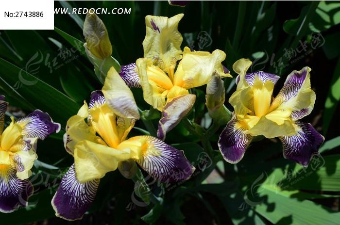 美丽的鸢尾花图片_动物植物图片