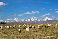 雪山下的羊群