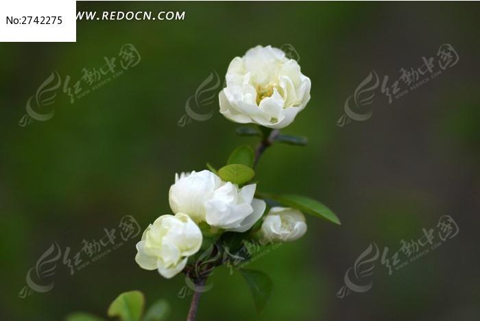 一枝白桃花图片,高清大图