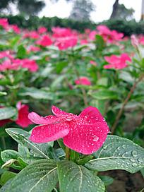 雨后娇艳的红花