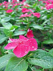 沾满水珠的红花