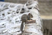正在吃坚果的小松鼠