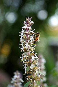 夏枯草上采蜜的蜜蜂