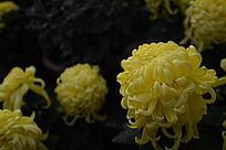 高贵的黄菊花