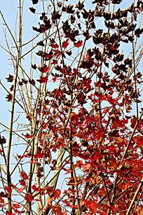 红枫树摄影图