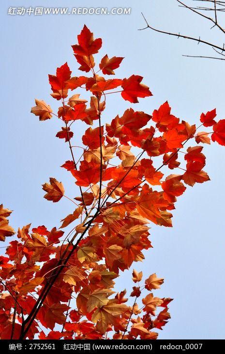 红枫叶图片_动物植物图片