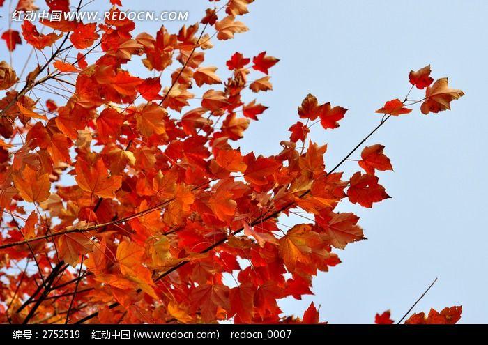 美国红枫高清图片