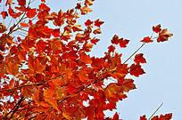 美国红枫高清图