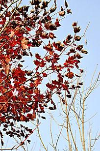 美国红枫树叶
